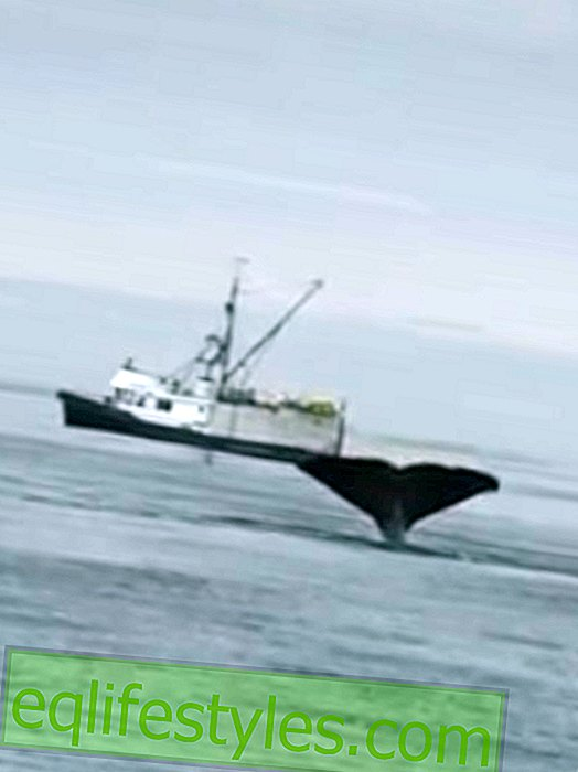 Huge robbers: Sperm whales attack fishing boats
