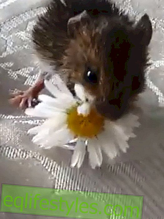 Sweet video: Little mouse eats a daisy for the first time