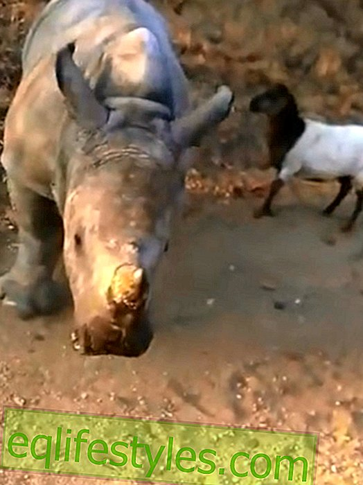 Great animal friendship: rhino and lamb play together
