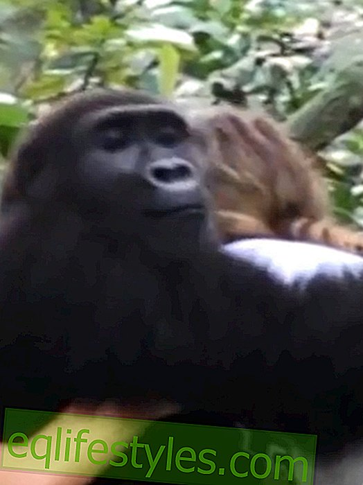 Incredible video: Exploited gorillas recognize people again