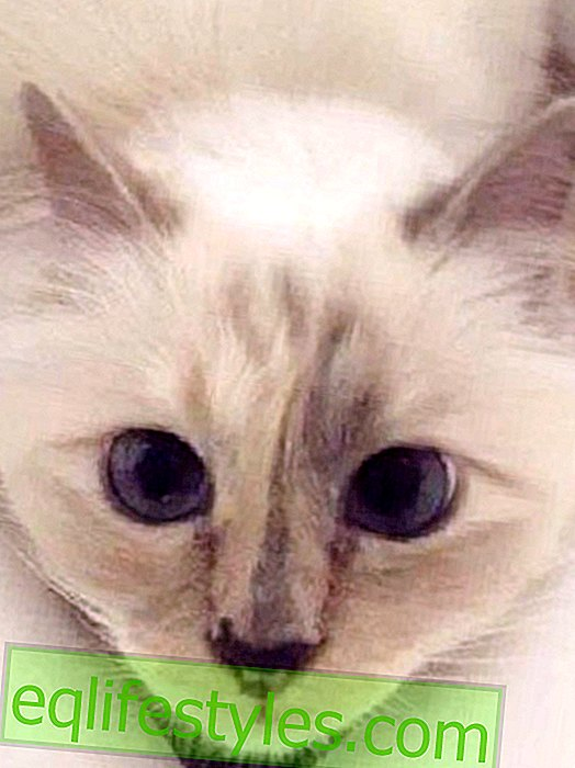 Life - Karl Lagerfeld's cat Choupette with its own beauty line