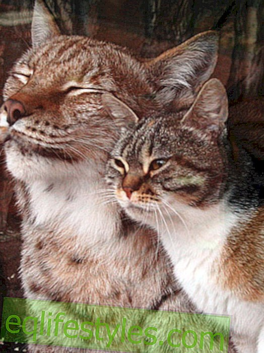 Sweet animal friendship: Lynx adopted cat