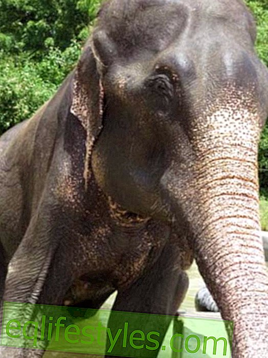 Elephant Raju should be put back in chains