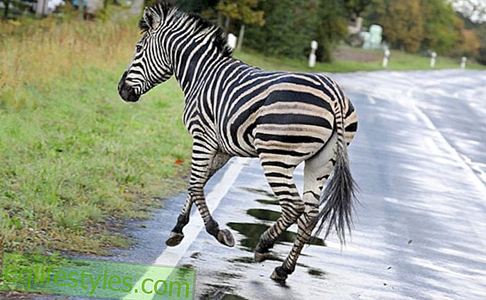 Death Drama: Escaped zebra shot dead in Mecklenburg-Vorpommern