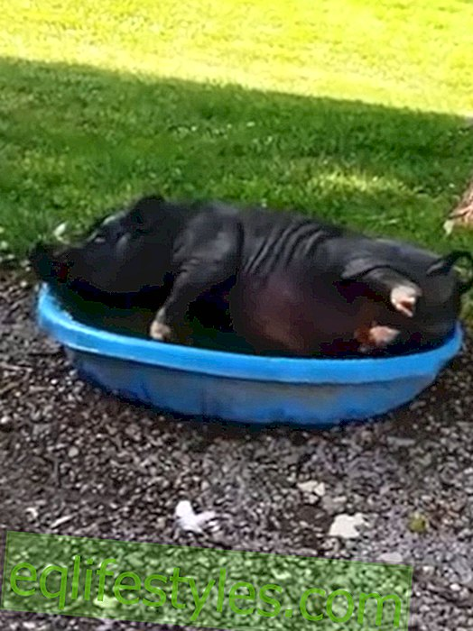 Life - Pool Party: Even pigs like to swim
