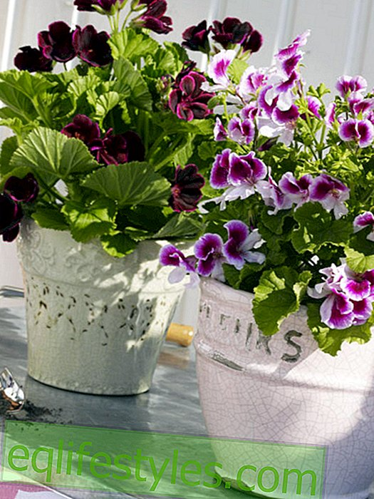 Fragrance geraniums in pots