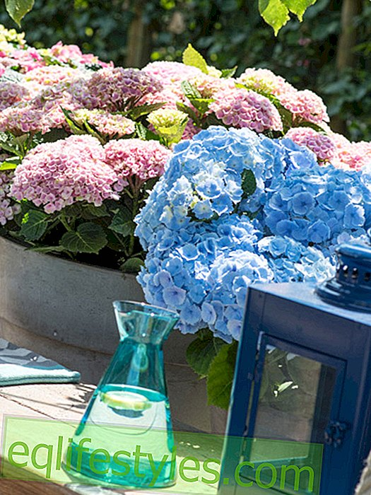 live - Garden Hydrangea: Host favorite at every summer party