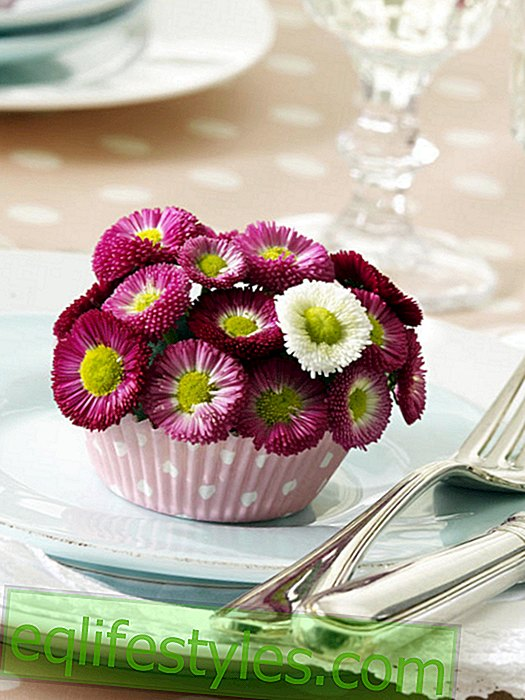 Bellis in muffin cases