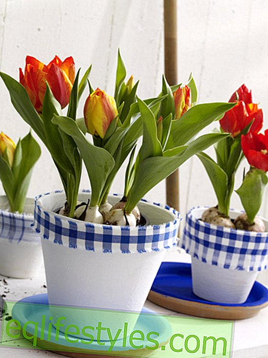 Clay pots with fabric border in Holland look