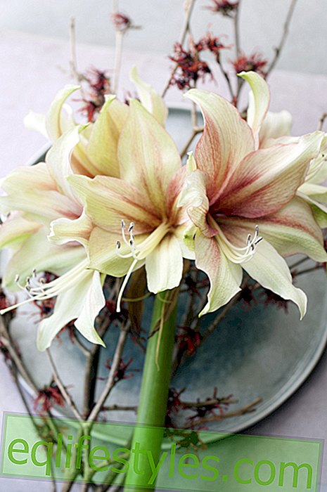 The Amaryllis enchants our home