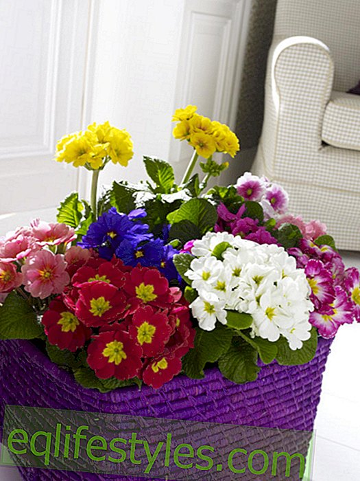 Primroses in purple bast basket