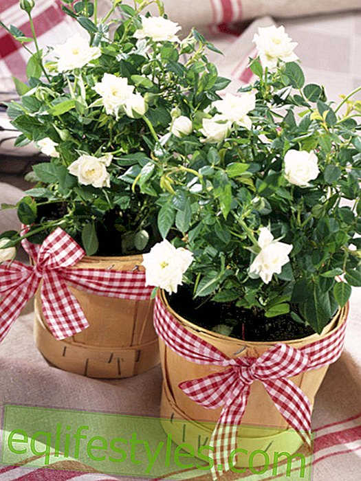 Check loops for rose pots