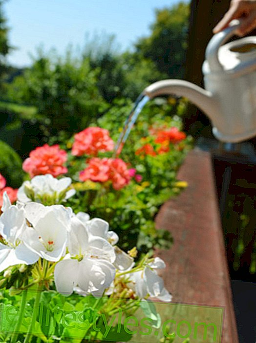 Geranium: How to cultivate your balcony flowers