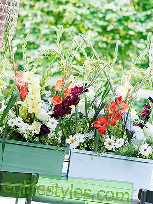Colorful summer feeling with the gladiolus